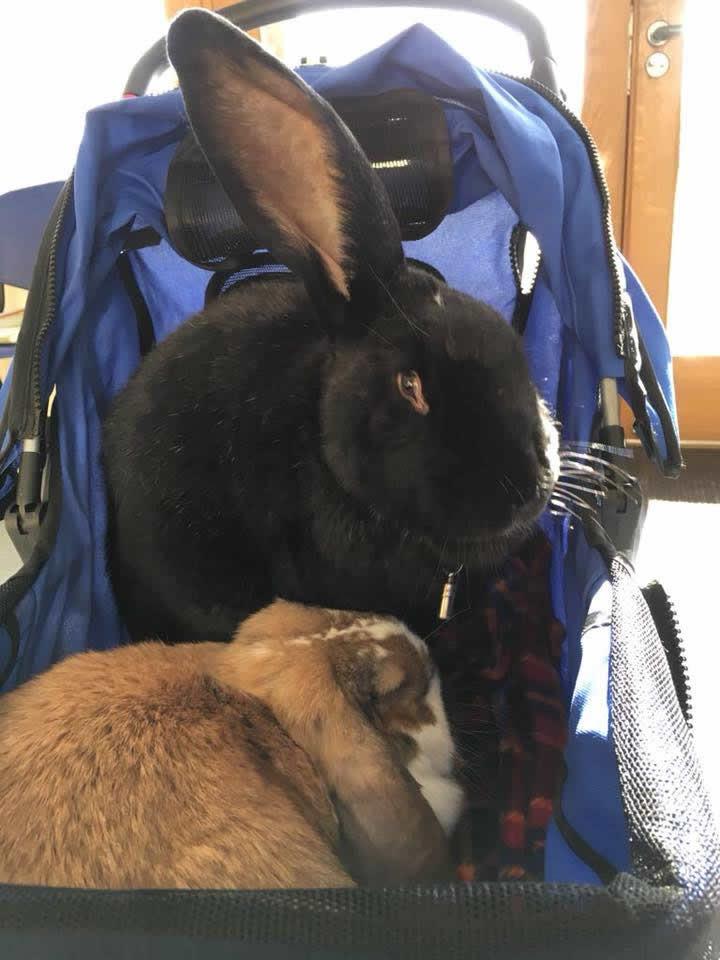 Rabbits at Manor Farm Vets